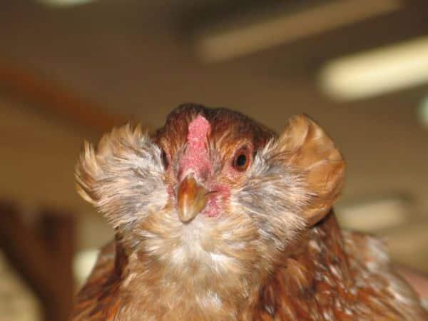 Экстерьер курицы