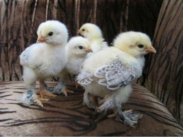 Окраска цыплят