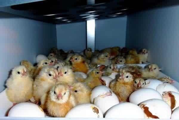 Инкубатор с цыплятами