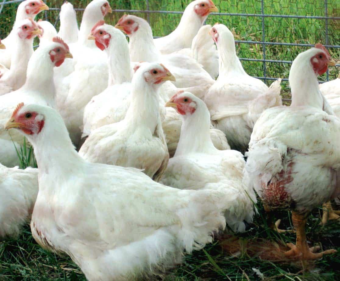 Преимущества разведения кур