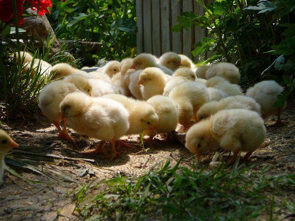 Определения пола цыпленка в разном возрасте