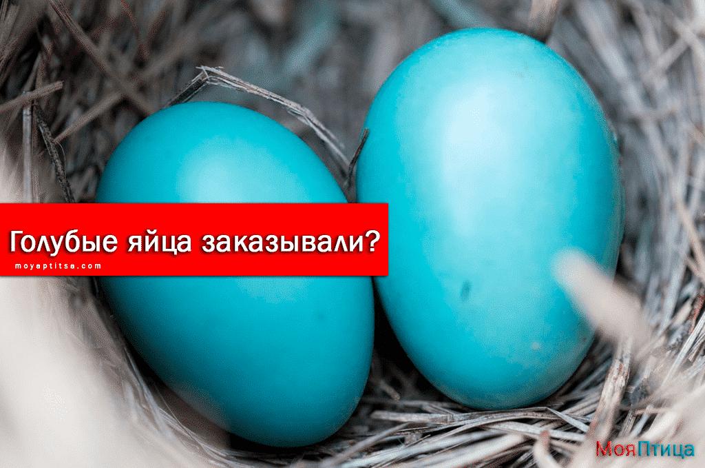 Какие породы кур несут яйца голубого цвета