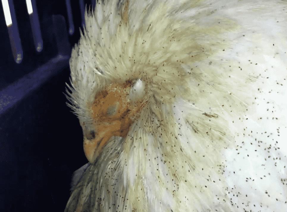 Куриные блохи