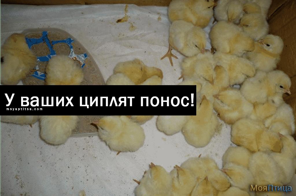 Почему у цыплят развился понос