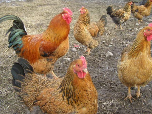 окраска куриц