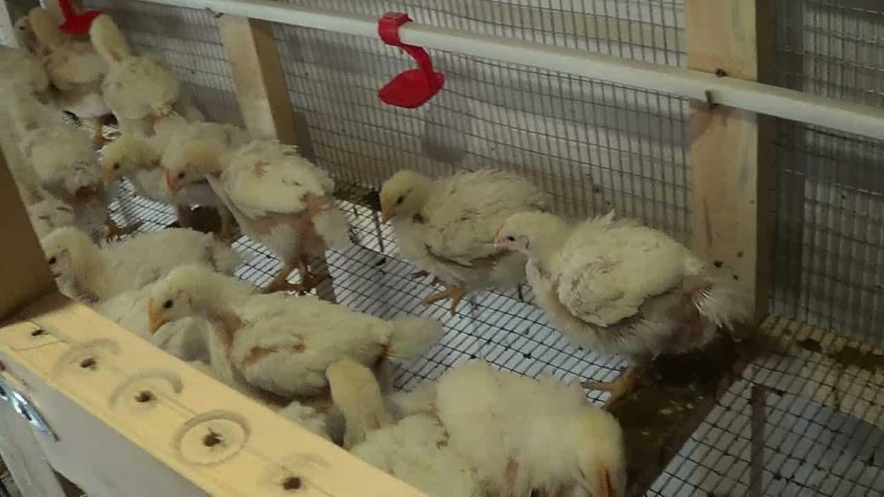  Плохие условия содержания цыплят. 
