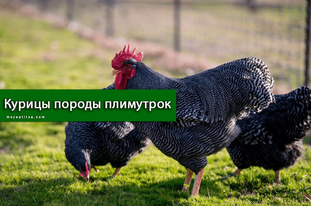 Курицы породы плимутрок