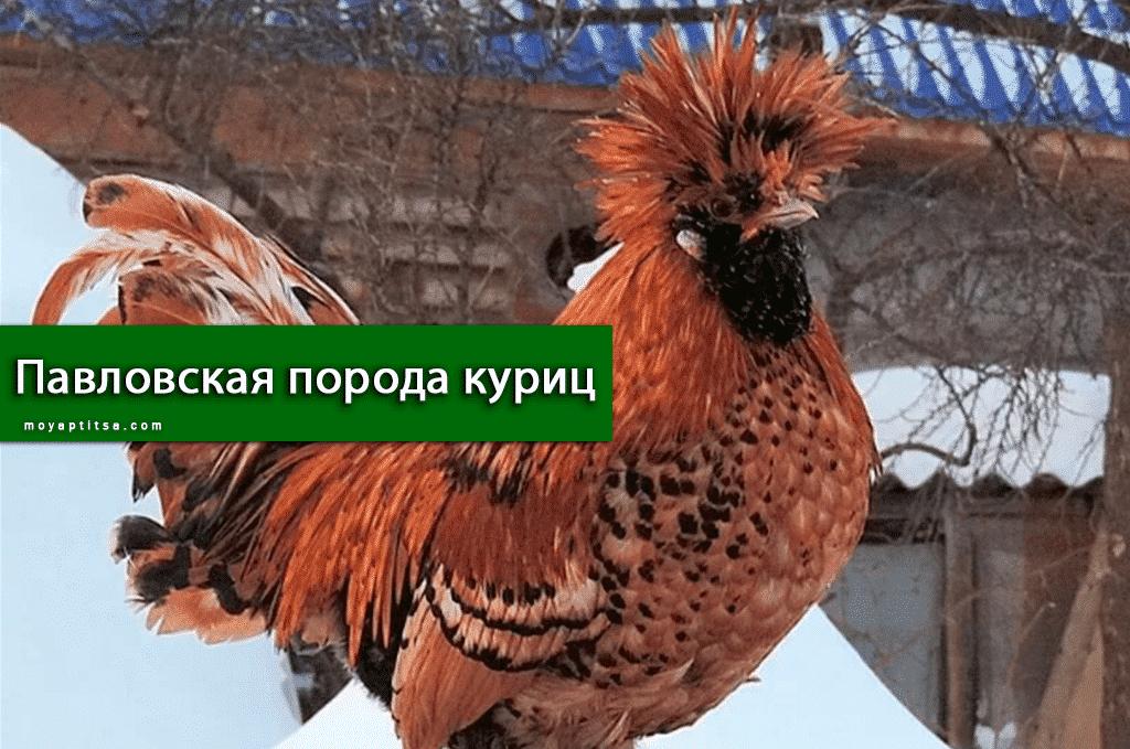 Павловская порода куриц