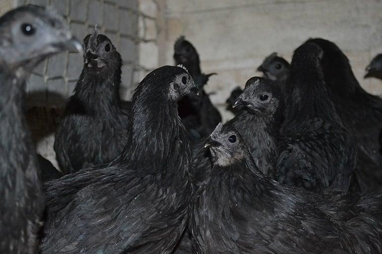 Темперамент птиц