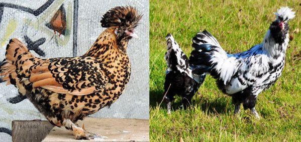 Два вида окраса, отличающие павловскую породу кур от других