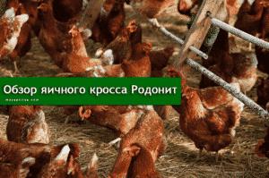 Особенности породы кур родонит
