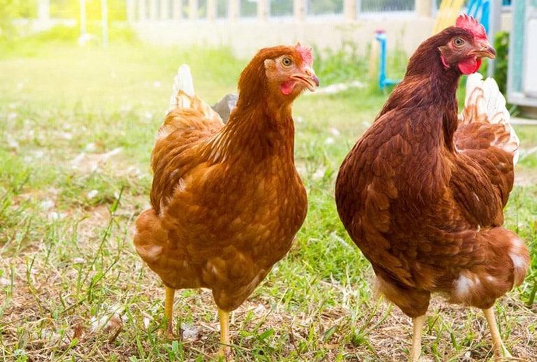 Внешний вид кур