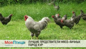 Лучшие мясо-яичные породы кур