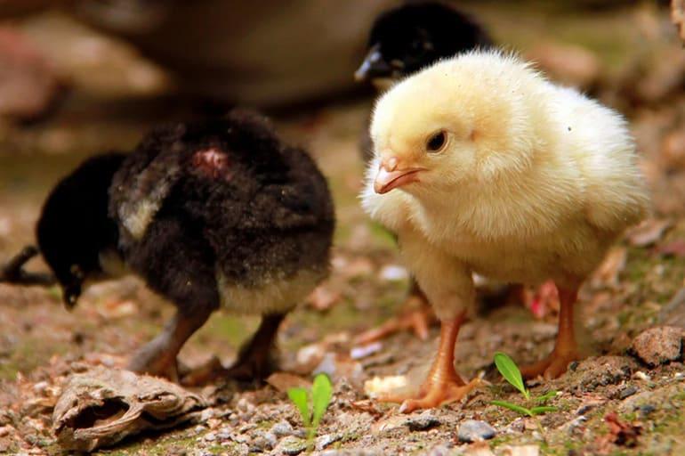 Выбор цыплят