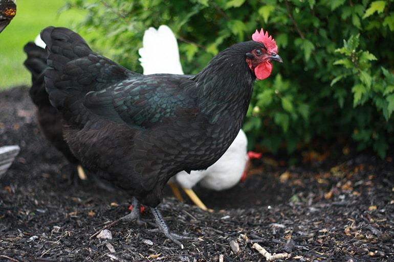 Австралорп порода кур