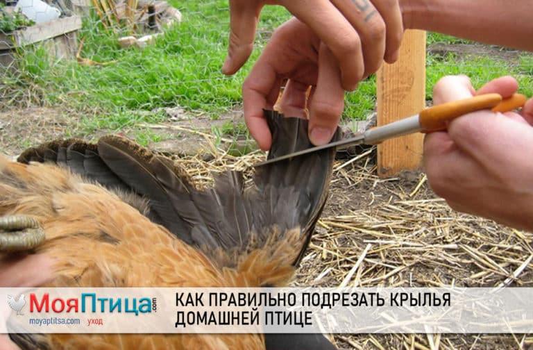 Как правильно подрезать крылья домашней птице