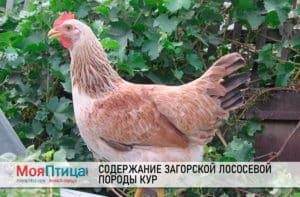 Содержание загорской лососевой породы кур