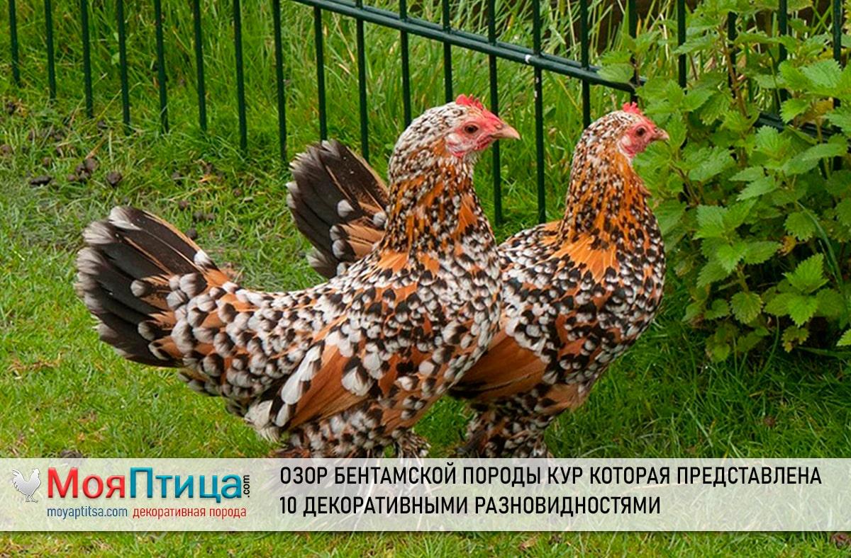Описание Бентамской породы кур