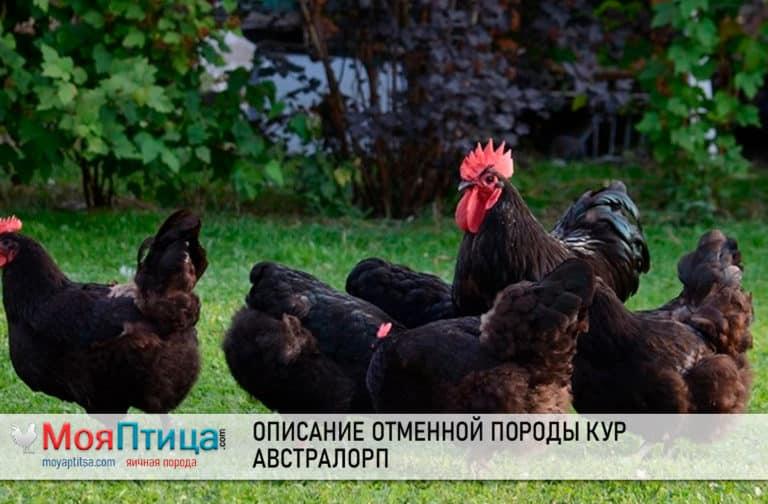 Описание породы кур австралорп