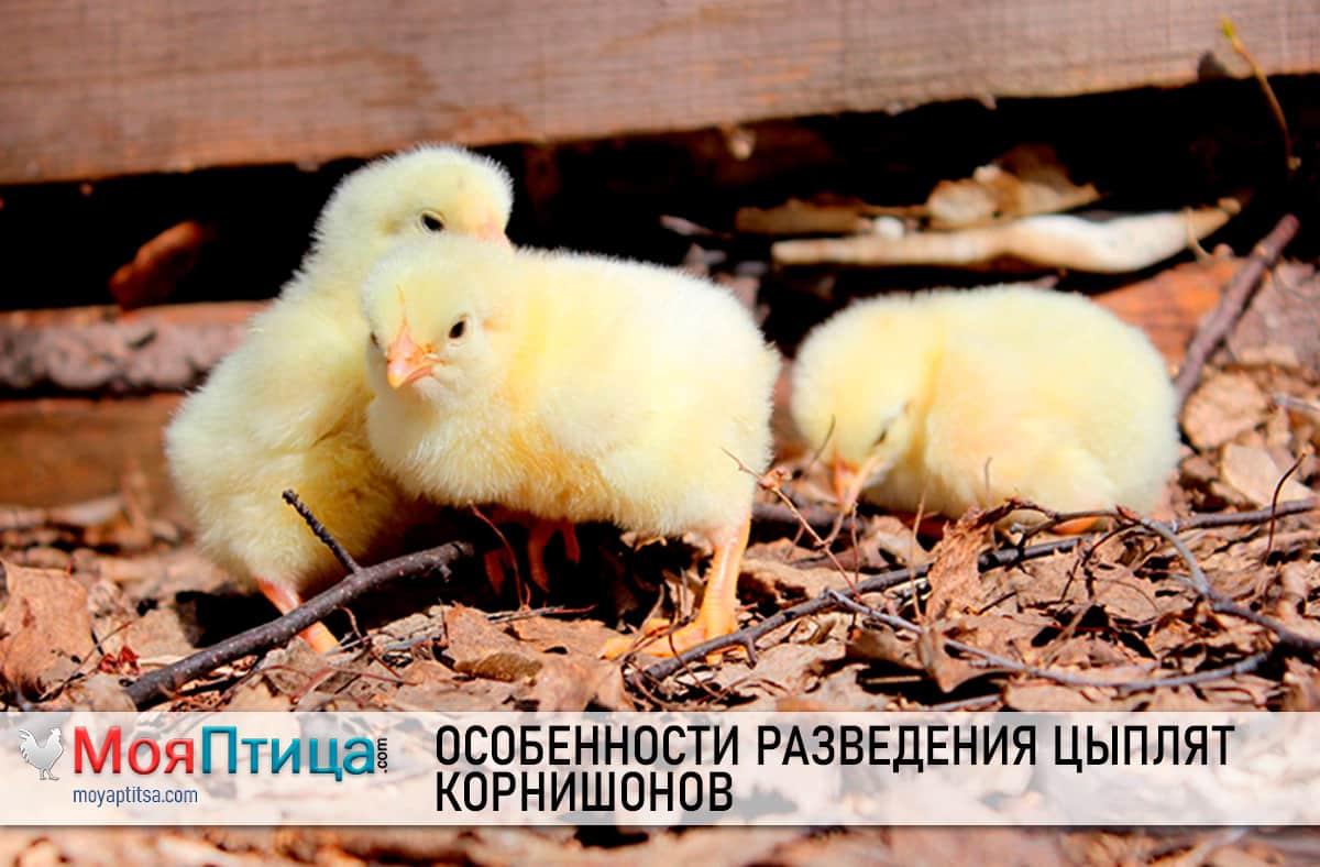 Описание цыплят корнишонов