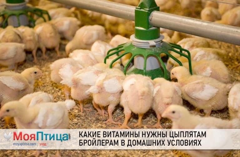 Какие витамины нужны цыплятам бройлерам в домашних условиях