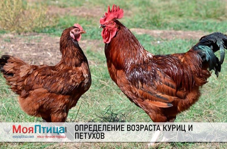 Определение возраста куриц и петухов